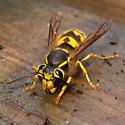 Yellow Black Wasp - Vespula pensylvanica