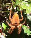 Orange garden spider - Araneus