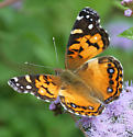 Is this an American lady (Vanessa virginiensis)? on wild ageratum - Vanessa virginiensis