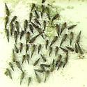 Molted! - Cerastipsocus venosus