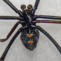 Large Male Southern Black Widow - Latrodectus variolus - male