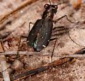 Tiger Beetle - eastern pinebarrens? - Cicindelidia punctulata
