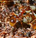red ant - Aphaenogaster