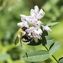 brown-belted bumblebee - Bombus griseocollis - female