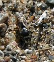sand wasp (digging) - Bicyrtes ventralis - female