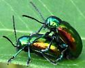 Dogbane Beetle - Chrysochus auratus - male - female