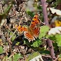 Butterfly - Polygonia faunus