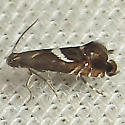 Yellow Nutsedge Moth - Hodges#2346 - Diploschizia impigritella