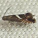 Yellow Nutsedge Moth - Hodges#2346 - Diploschizia impigritella