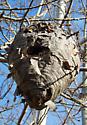 Nest - Dolichovespula