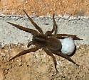 Small Wolf Spider - Trochosa - female