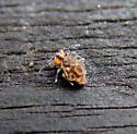 Globular Springtail - Ptenothrix sp.1 - Ptenothrix