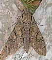 MothGiantSphinx_Cocytius_antaeus11192015_MS_ - Cocytius antaeus