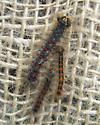 Gypsy moth larvae - Lymantria dispar