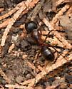 Female, Camponotus vicinus? - Camponotus vicinus