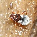Velvet Water Bug - Merragata brunnea