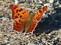 orange butterfly - Polygonia interrogationis