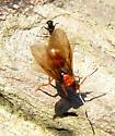 Ant Unknown - Prenolepis imparis