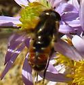 fly - Lejops polygrammus