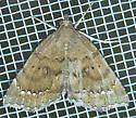 Focillidia texana - Hodges#8730 (Focillidia texana) - Focillidia texana