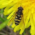 Syrphidae 6-05-10 01 - Syrphus