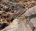 Flag-tailed Spinyleg - Dromogomphus spoliatus