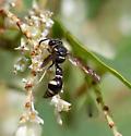 Mason Wasp - Eumenes - male