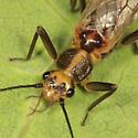 stonefly - Cultus verticalis - female