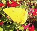Orange-barred Sulphur - Phoebis philea - male