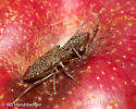 Brown marmorated stink bug adult on Red delicious apple fruit - Halyomorpha halys - male - female