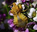 Yellow beatle - Phymata species-one-west