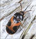 Mycetophagus punctatus