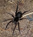 Spider with black body and brown legs - Tigrosa helluo