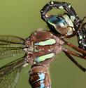 Shadow Darner female thoracic stripes - Aeshna umbrosa - female