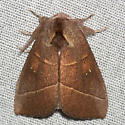 White-dotted Prominent Moth - Hodges #7915 - Nadata gibbosa - male