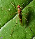 Diptera. Hybotidae? - Compsobata univitta