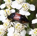 Tumbling Flower Beetle? - Macrosiagon