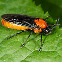 Unknown Sawfly - Arge pectoralis - female