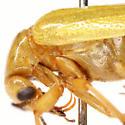 Zonitis (Parazonitis) dunniana Casey - Zonitis dunniana