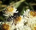 Small bee of unknown species - Epeolus scutellaris - male