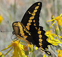 Giant Swallowtail - Papilio rumiko - male