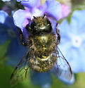 robust green bee with short antennae - Osmia lignaria - female