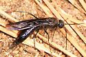 brownish-black wasp - female