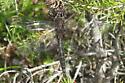 Anisoptera 02a - Epitheca spinigera