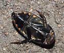 Greenish Predaceous Diving Beetle - Hydrophilus triangularis