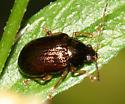 Leaf Beetle - Rhabdopterus