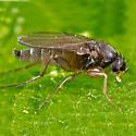 Fruit Fly? - Megaselia rufipes