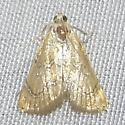 Glaphyria glaphyralis - Common Glaphyria Moth - Hodges#4869 ? - Glaphyria glaphyralis