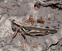 Long-winged Melanoplus - Melanoplus flavidus - female