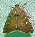 Hook-tipped Amyna moth